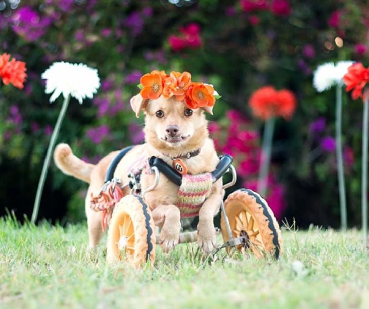 perrita en una silla de ruedas con un adorno de flores en su cabeza