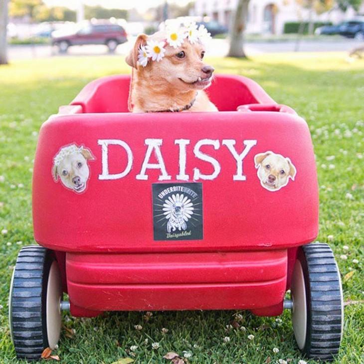 perrita sobre un carrito en color rosa con el nombre de Daisy