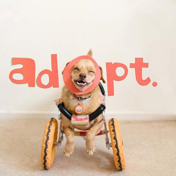 daisy una perrita en silla de ruedas con las palabras adopt en la parte de su cabeza