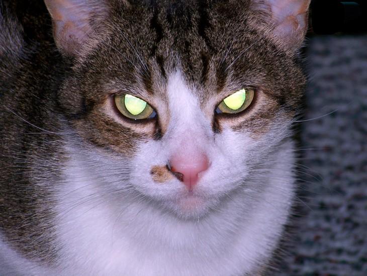 cabeza de un gato de dos colores con los ojos brillosos y viendo fijamente hacia enfrente