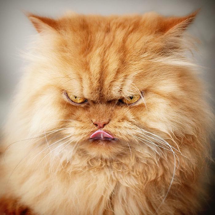 cara de un gato color anaranjado sacando la lengua