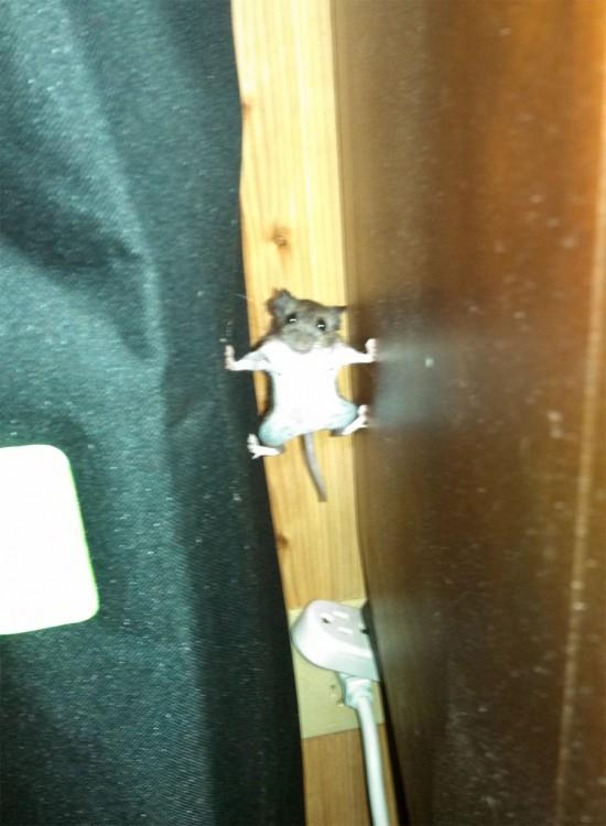 foto de un ratón en sosteniéndose en medio de dos muebles