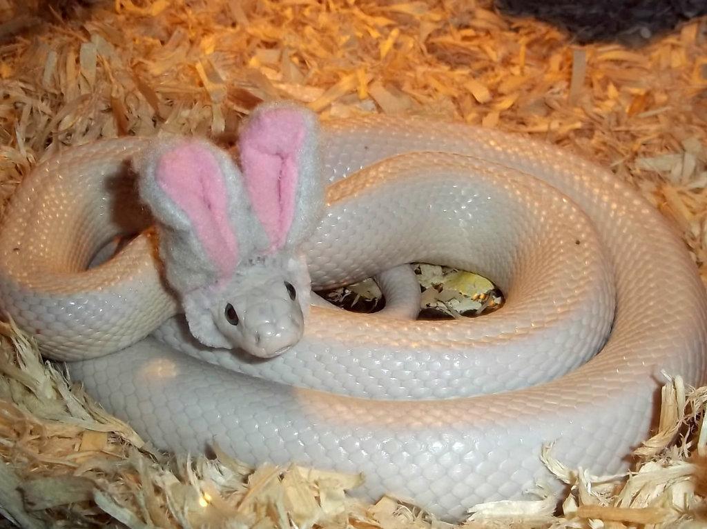 serpiente blanca enroscada con unas orejas de conejo sobre su cabeza c0e7b8afb3b8