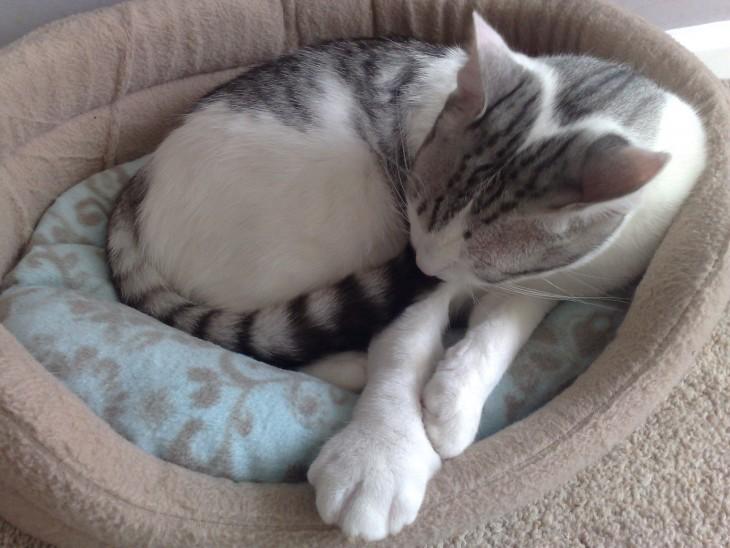 Gatito con la patita blanca