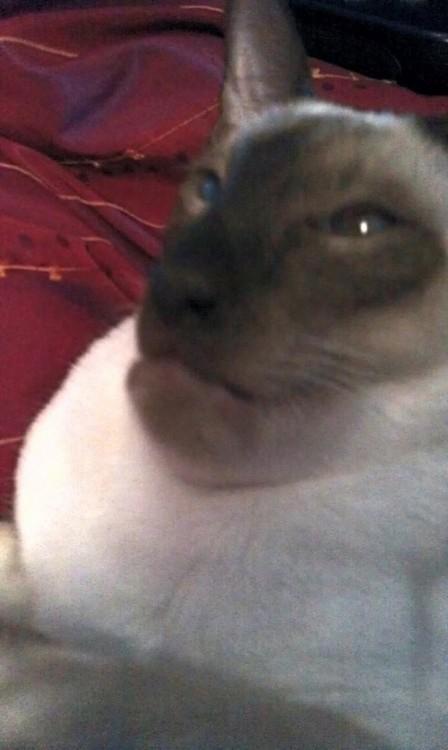 gato con los labios hinchados