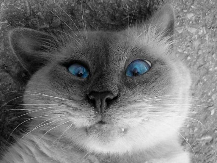 gato con ojos azules y picaduraen una mejilla