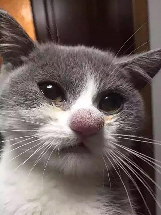gato con la nariz inflamada