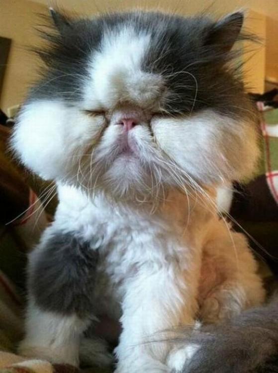 gato con varias picaduras de abeja en toda su cara