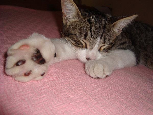 gato con su huellita muy inflamada dormido y adolorido