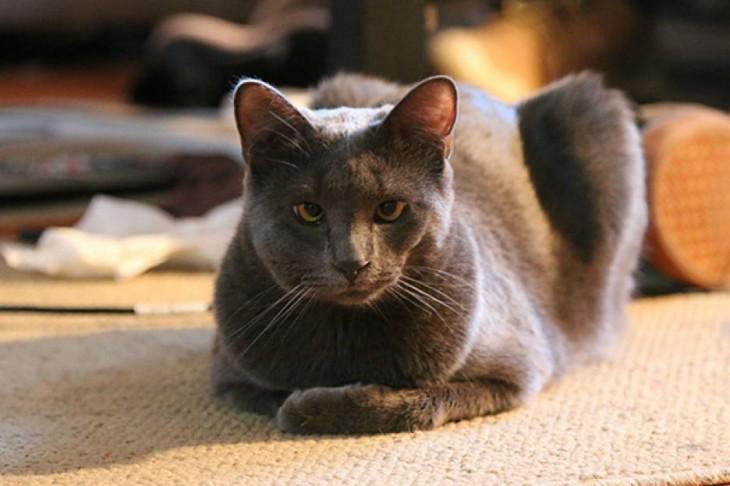 gato de angora con una picadura de avispa