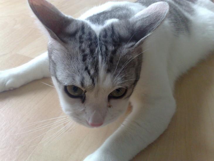 gato blanco con gris con picaduras en sus mejillas