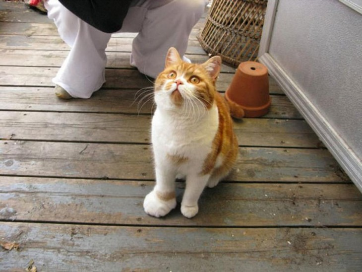 gato con patita hinchada