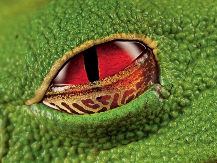 ojo de rana verrugosa en brasil