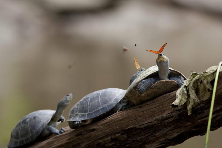 dos tortugas jugando con las mariposas