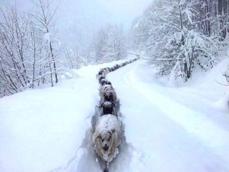 ovejas vijando a travez de un pequeño camino entre la nieve. Razón por la que las ovejas dan lana