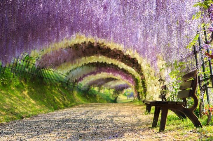Túnel de la Wisteria en Japón