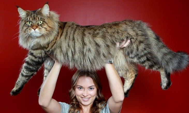 Rupert el gato más grande de australia