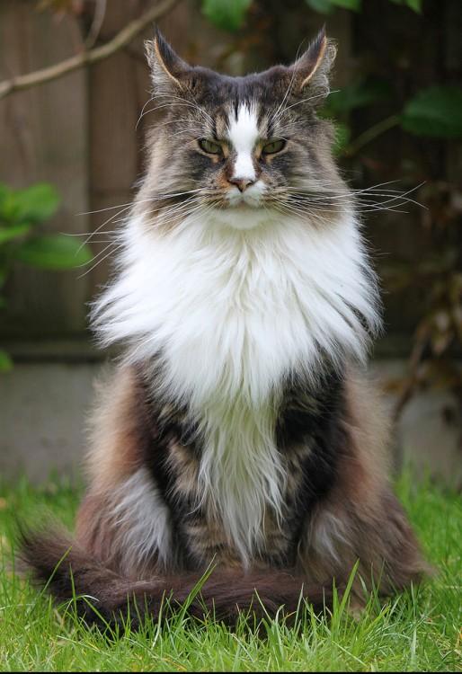 gato maine en posición solemne
