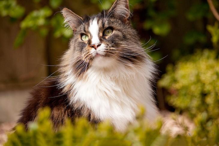 gato maine posando para la camara
