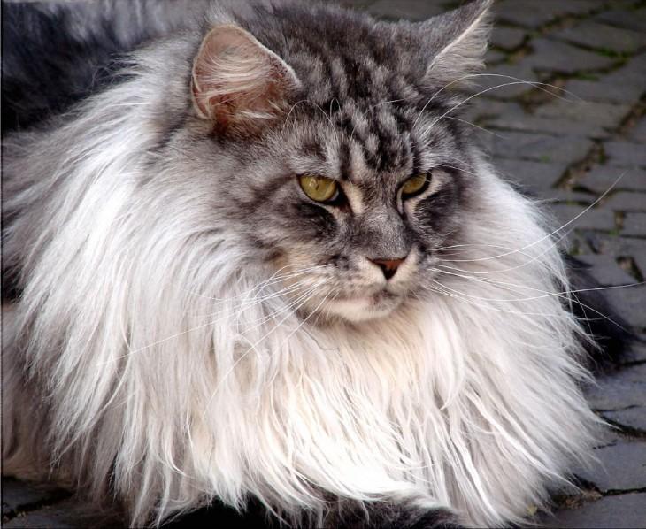 Cuello del gato maine coon es muy grande y esponjoso
