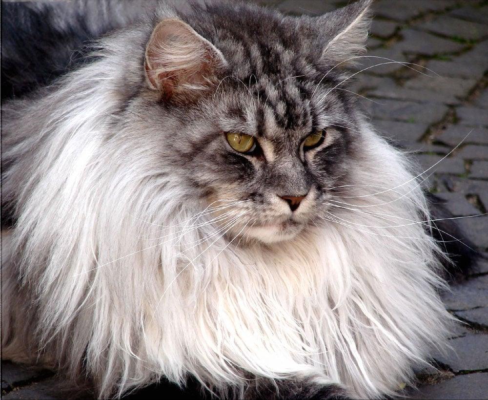 Himalayan Russian Blue Cat