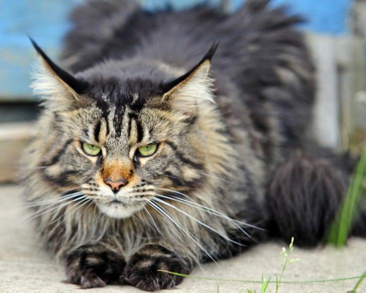 El maine es considerado uno de los gatos domésticos más grandes del mundo