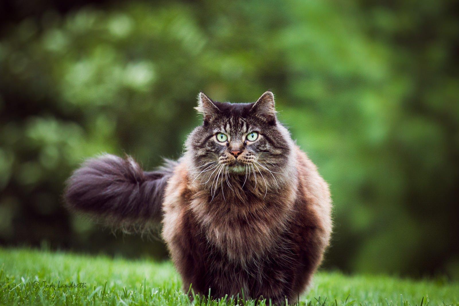 Los 15 gatos m s grandes del mundo casi como sus due os - Trepadores para gatos ...