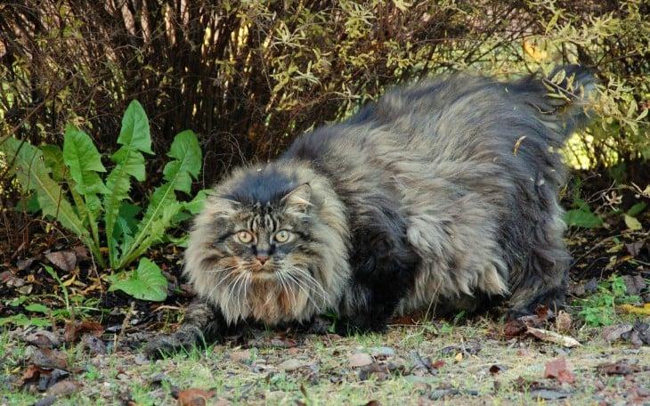 gato maine en el bosque