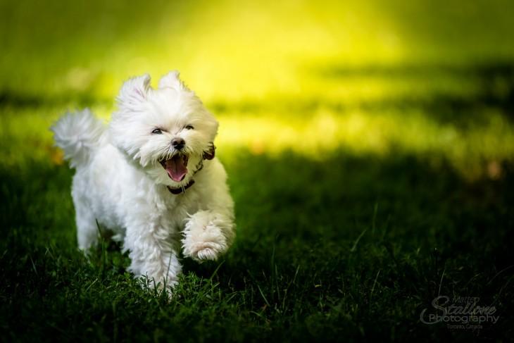 perrito blanco corriendo por el pasto