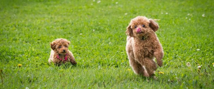 perritos café criollos corriendo hacia sus dueños