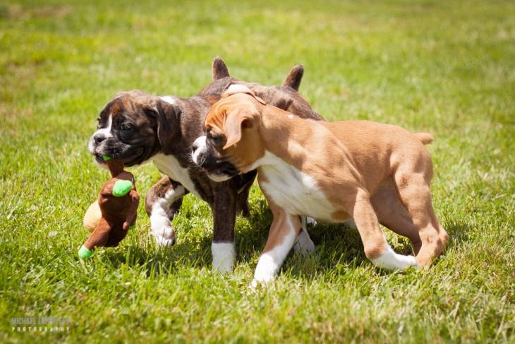 perros boxer jugando con un peluche