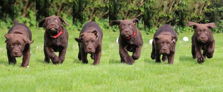 perritos bebé labrador corriendo al unisono