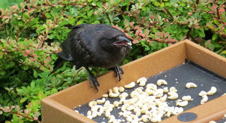 cuervo comiendo de los contenedores de Gabie Mann