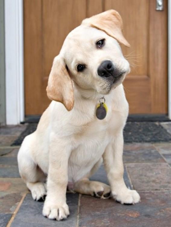 Cão de Labrador com a cabeça inclinada