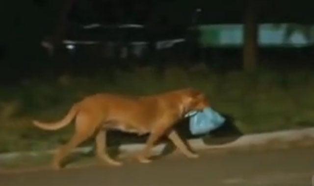 Perra caminando con una bolsa de basura en el hocico