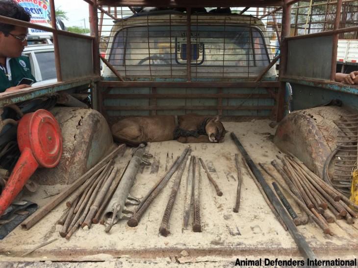 puma dormido encadenado dormido en la parte trasera de un camión en Perú