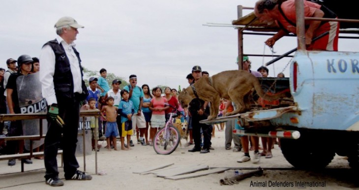 puma a punto de bajarse de un camión rodeado de gente en Perú