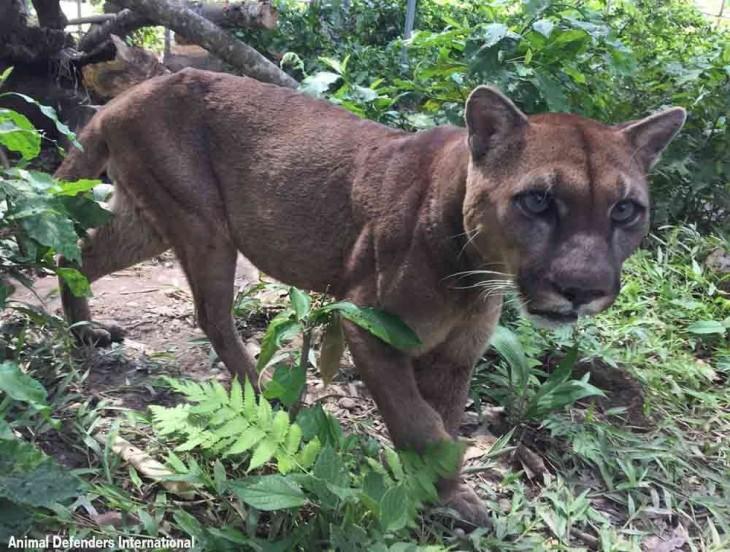 Puma caminando en la selva al ser liberado