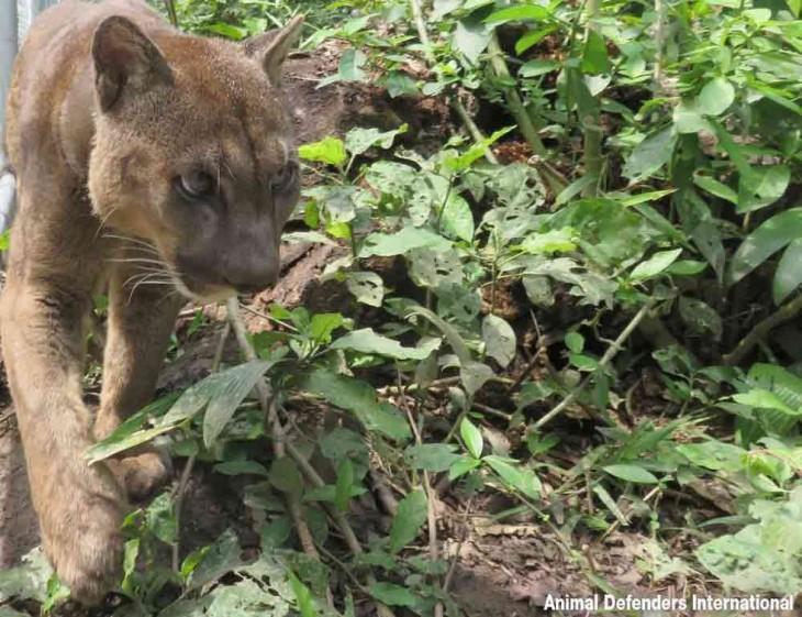 Puma liberado en la selva