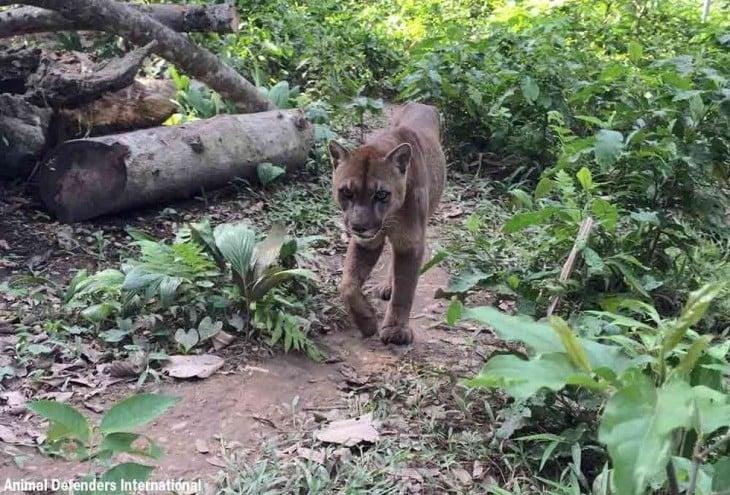 puma caminando por la selva en Perú después de ser liberado