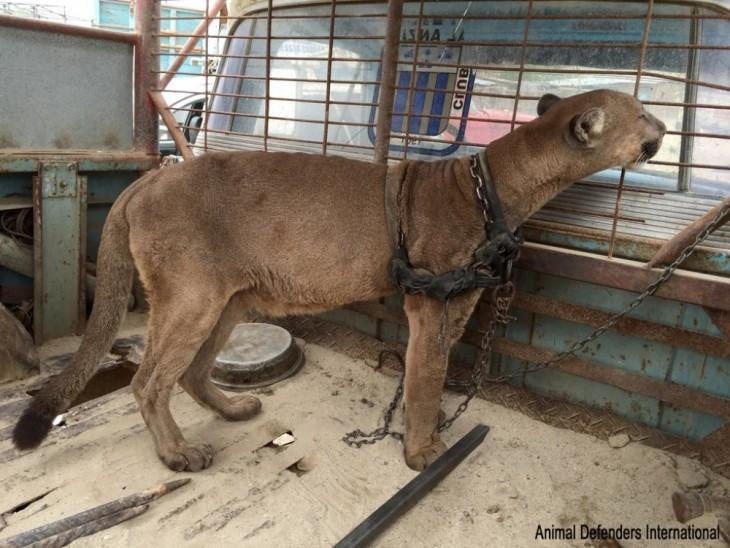 Puma encadenado en la parte trasera de un camión