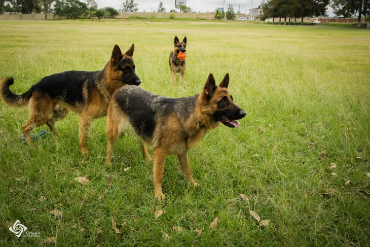 Perros pastor alemán en un área con césped