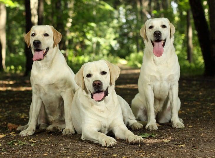 3 perros de raza Labrador Retriever