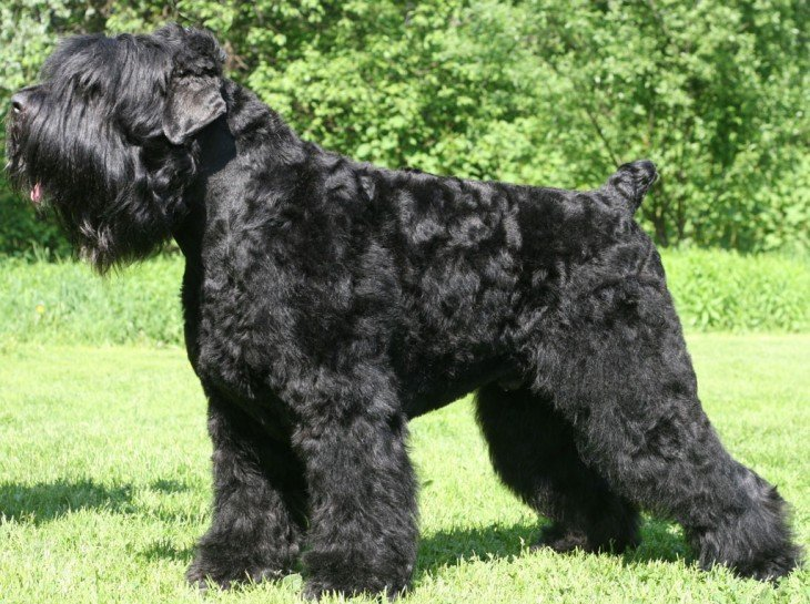 Raza de perro Terrier Ruso Negro
