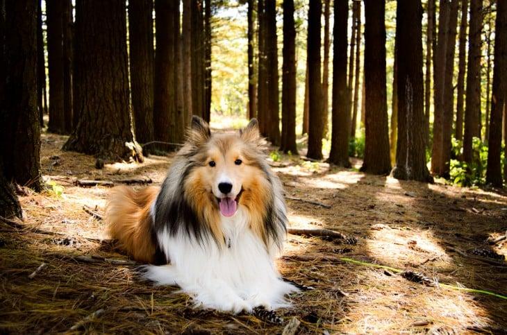 Perro de raza Shetland o Sheltie.