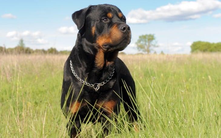 Perro Rottweiler parado sobre un pasto verde en un ambiente natural
