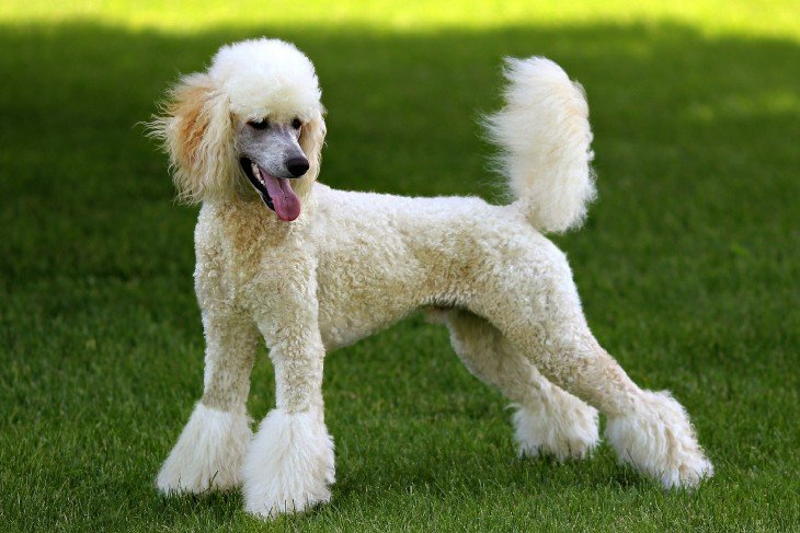 Perro de raza Poodle en un área verde