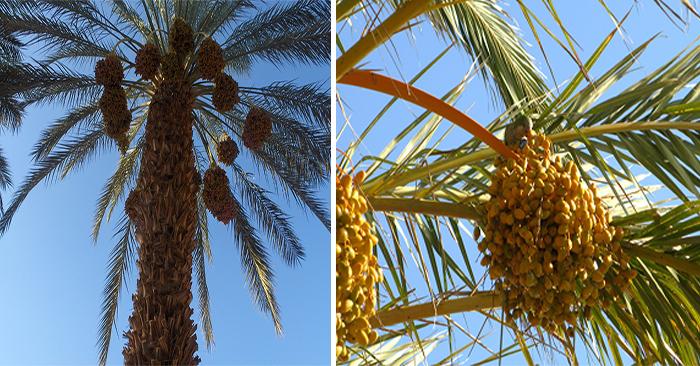 árbol de coco o dátiles
