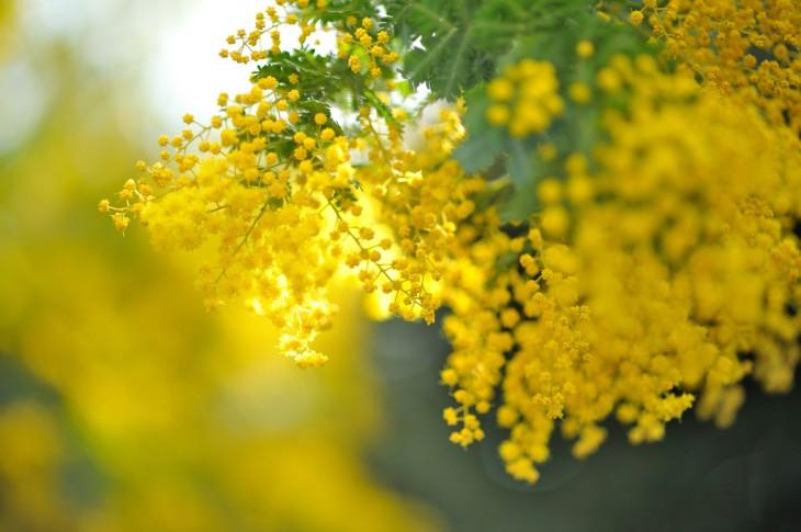 acacia es una de las plantas más famosas en egipto