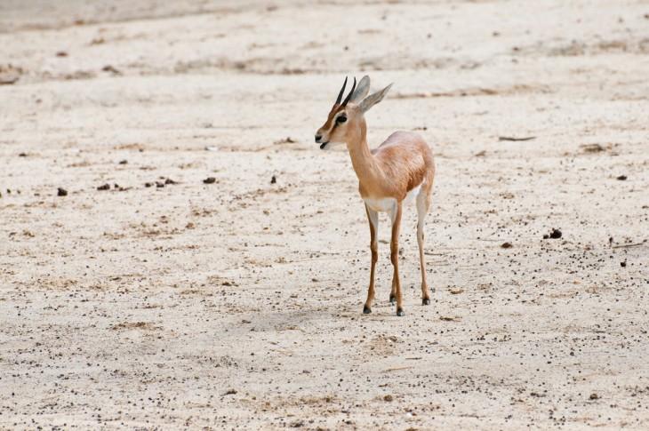 Gacela Dorca en uno de los desiertos cerca de Egipto